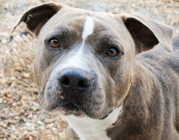 American Staffordshire terrier a robust dog but…
